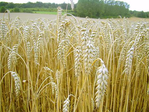 Weizen bleibt bedeutendste Kultur